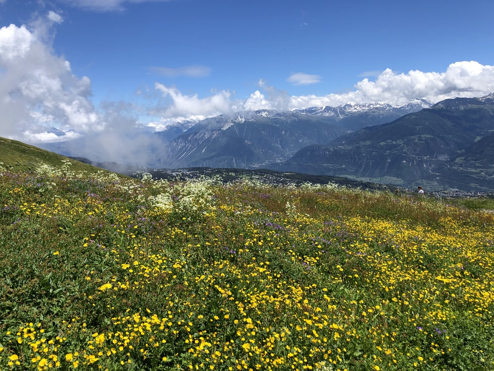 yellow flower field near mountain under blue sky during daytime