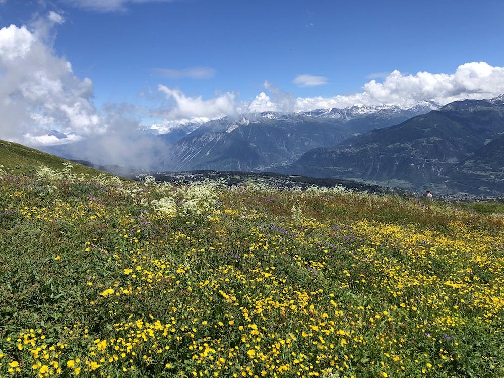 yellow flower field near mountain under blue sky during daytime