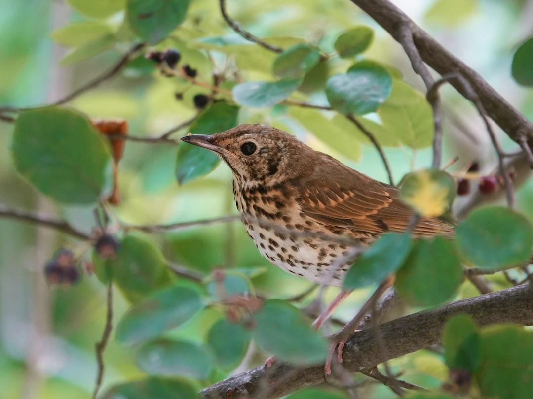 Juvenile Song thrush