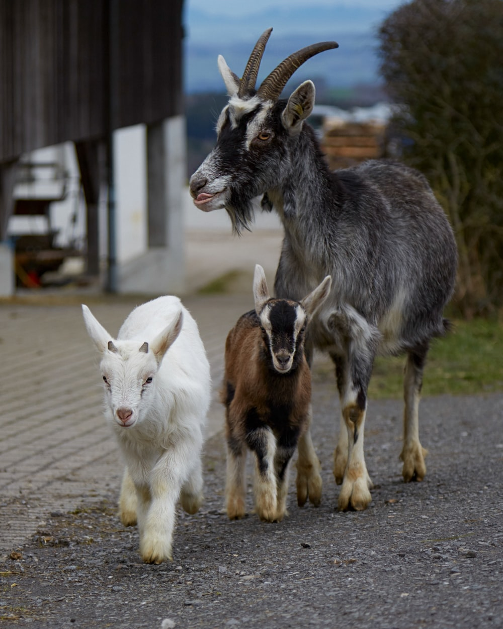 white and brown goats on brown dirt road during daytime