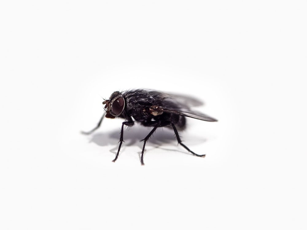black fly on white surface