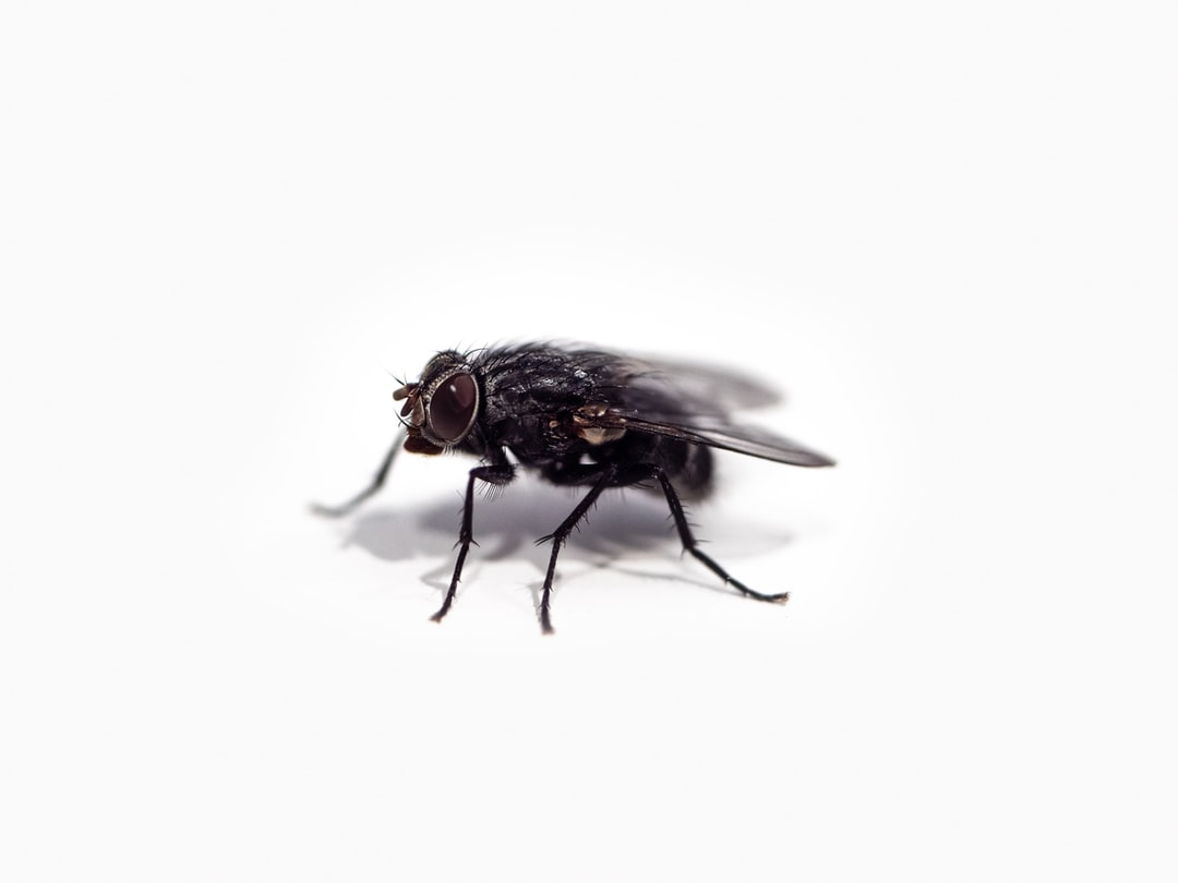 A common housefly isolated on a plain white background.