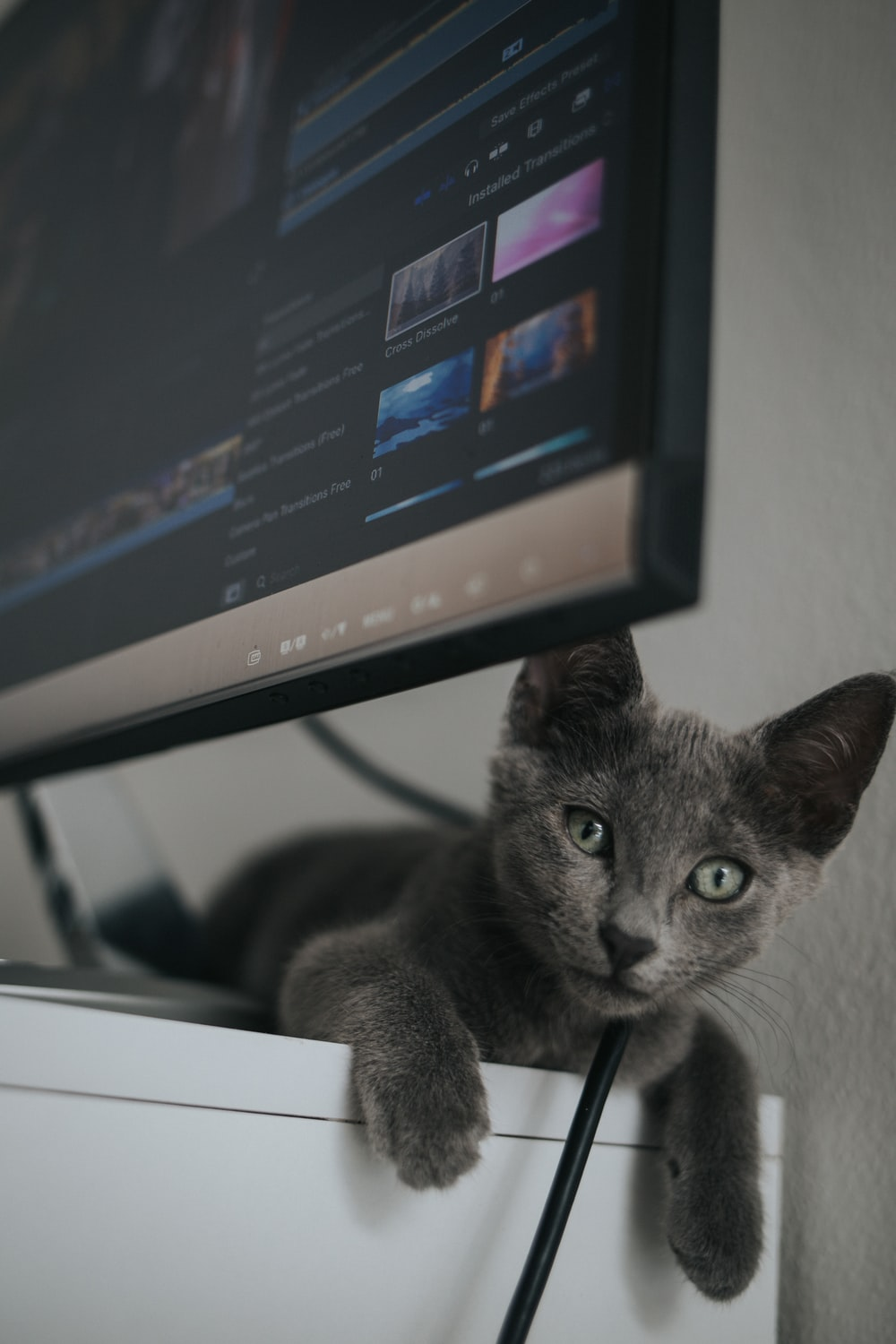 russian blue cat on black and white table