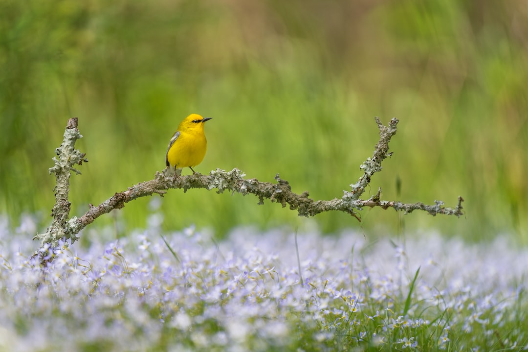 A Blue-winged Warbler perched on a lichen covered branch over a bed of small purple flowers.