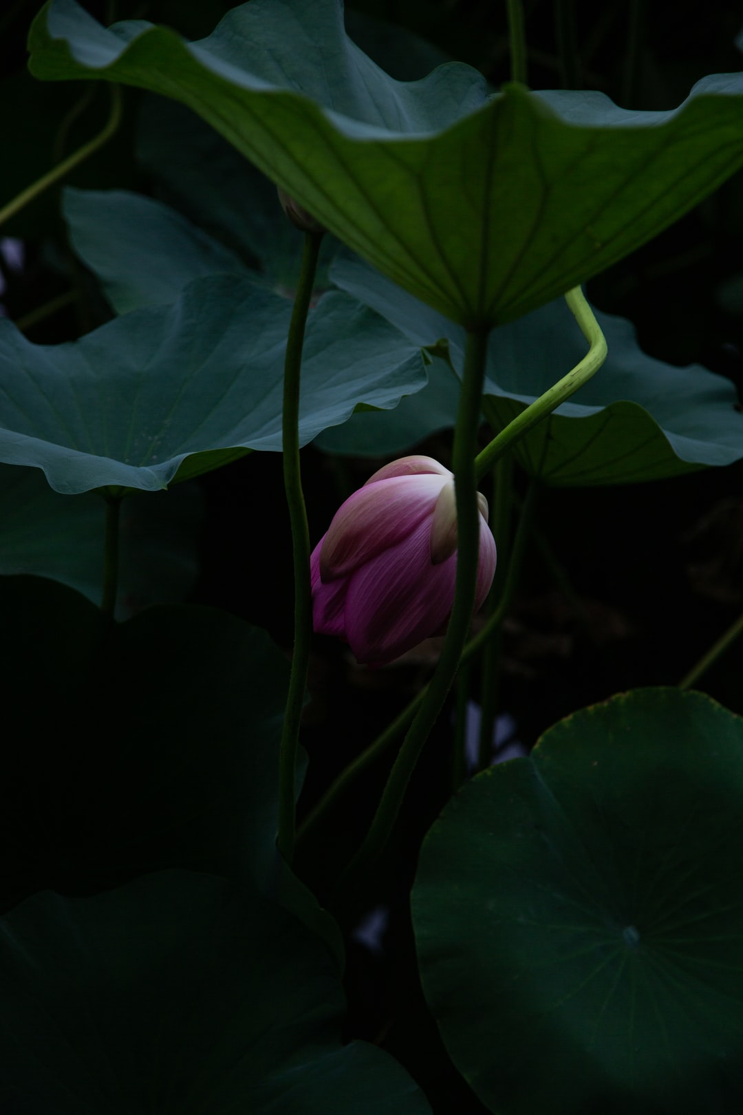 A withering lotus flower