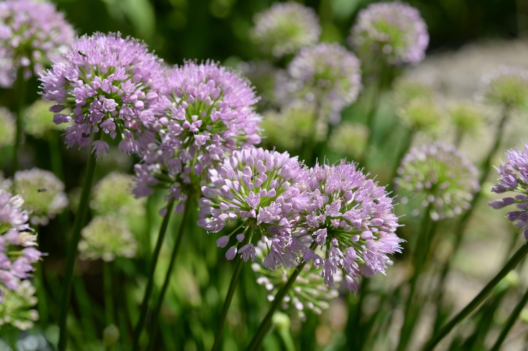 Allium, or onion flowers, are good for attracting bees and other pollinators to your garden.