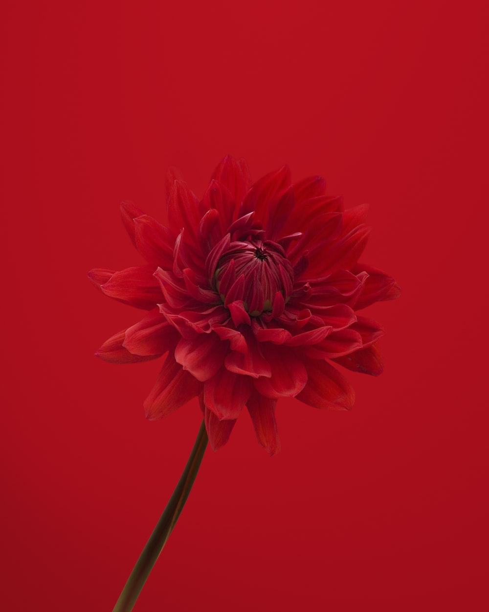 red flower in red background