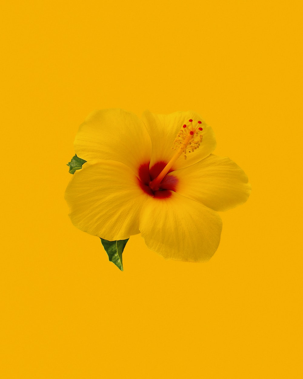yellow hibiscus in bloom close up photo