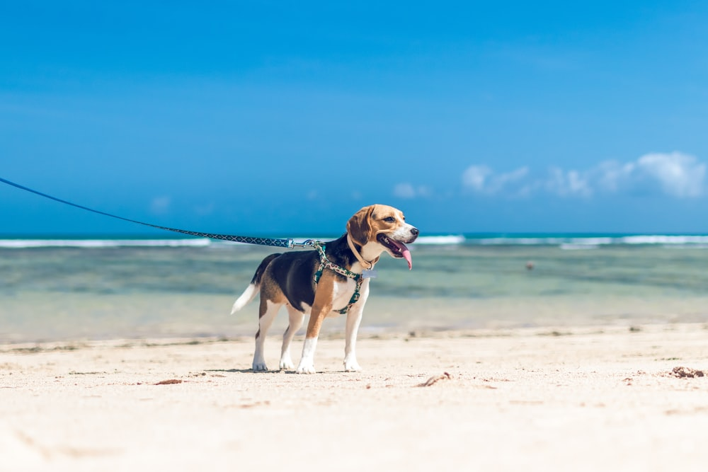 tricolor beagle running on beach during daytime