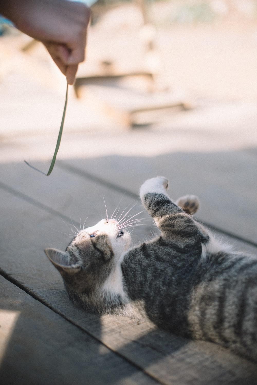 silver tabby cat lying on floor