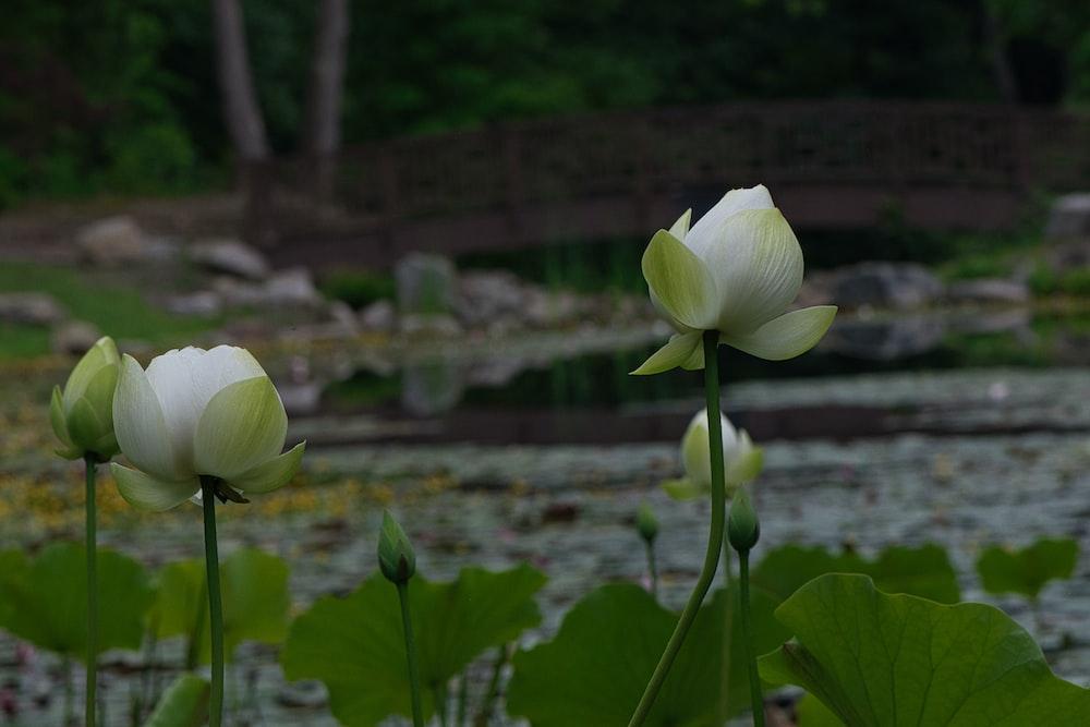 white lotus flower in bloom during daytime