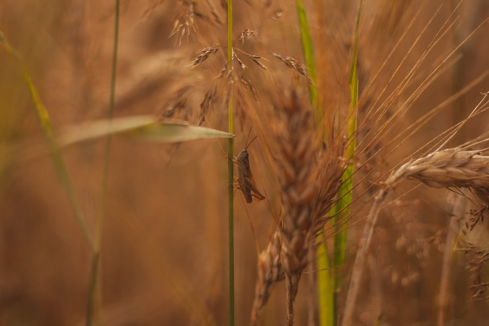 brown insect on green wheat