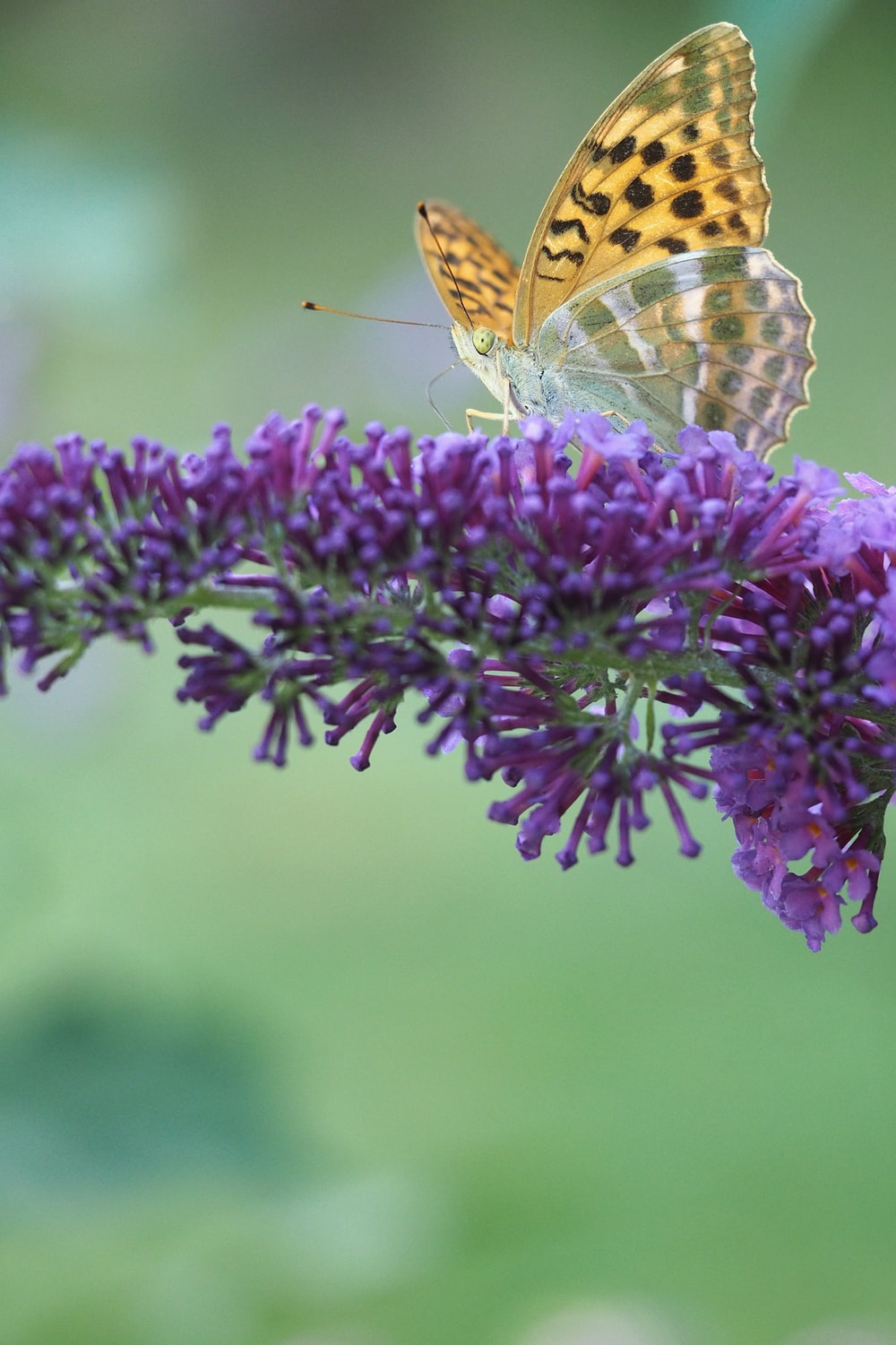 brown and black butterfly on purple flower