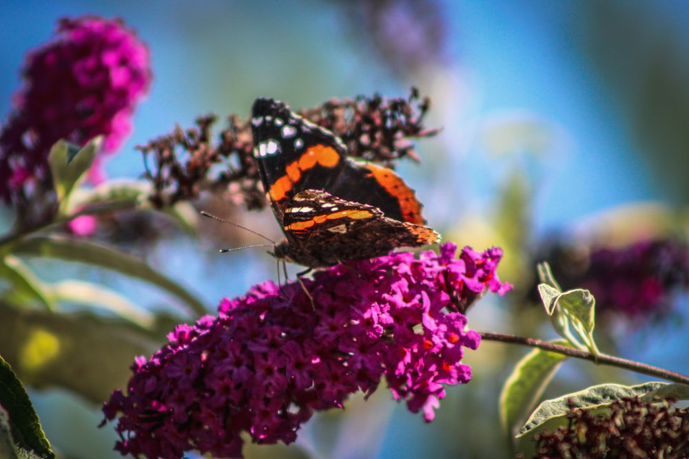 black orange and white butterfly perched on purple flower