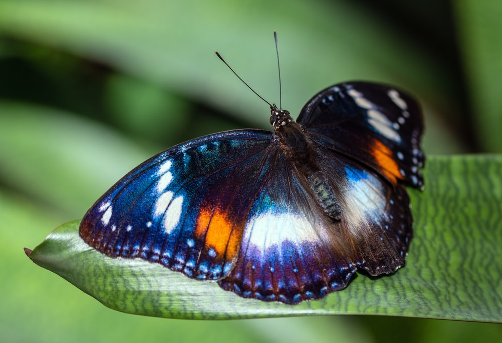 black white and orange butterfly perched on green leaf in close up photography during daytime