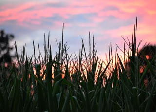 green wheat field during sunset