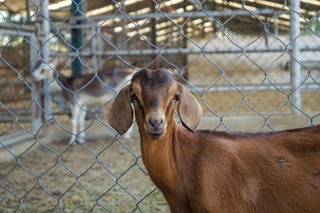 Juvenile Goat