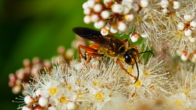 black and brown bee on white flower invertebrate teams background