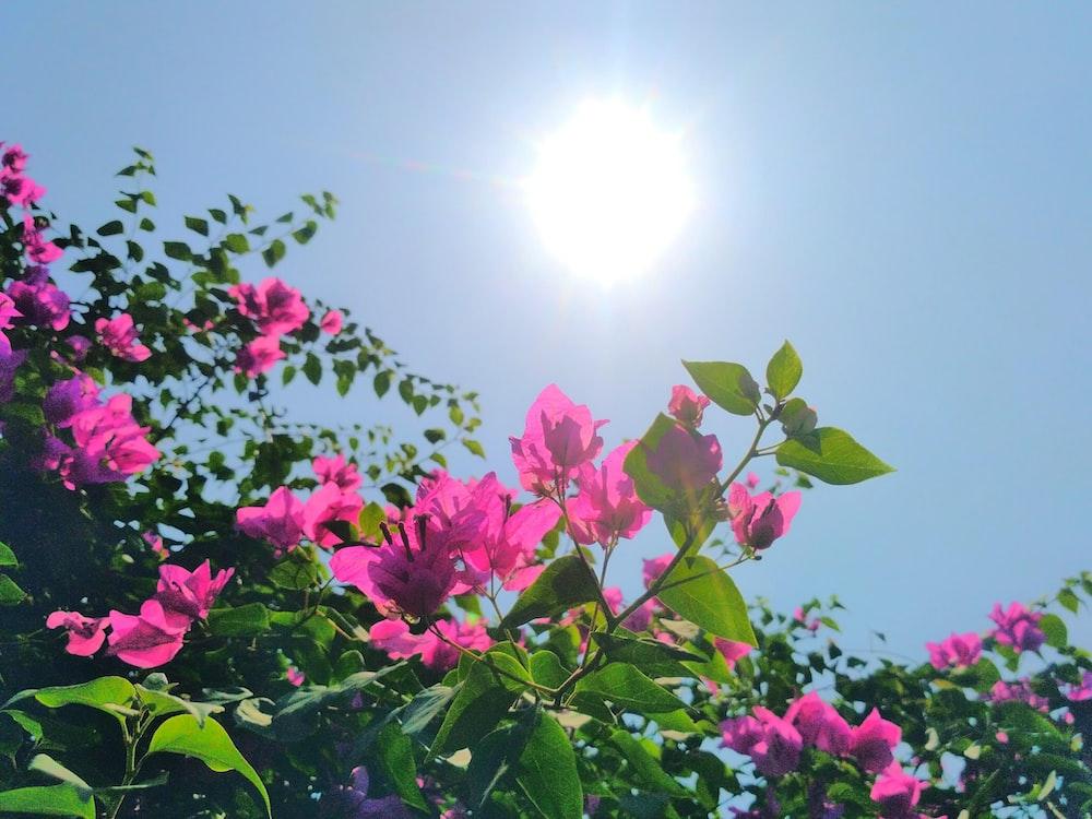 pink flowers under sunny sky
