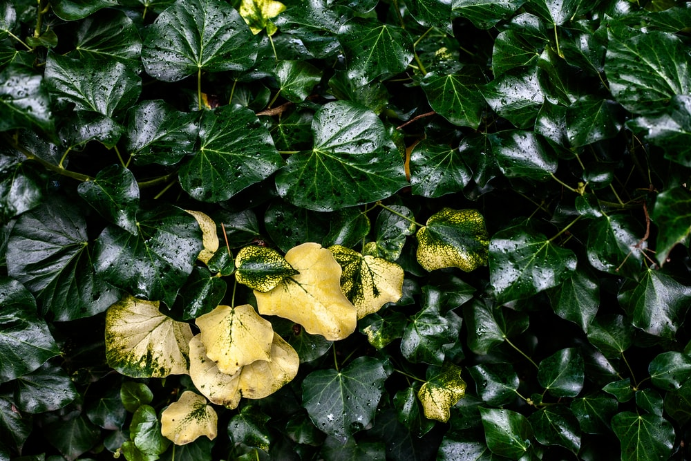 yellow and green leaves plant