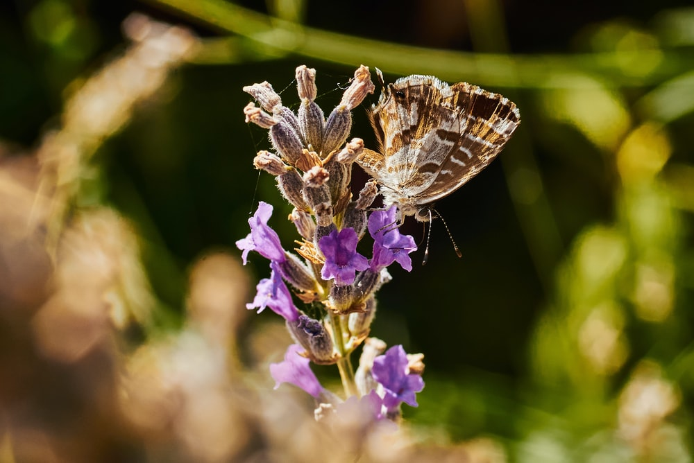 brown and white butterfly on purple flower