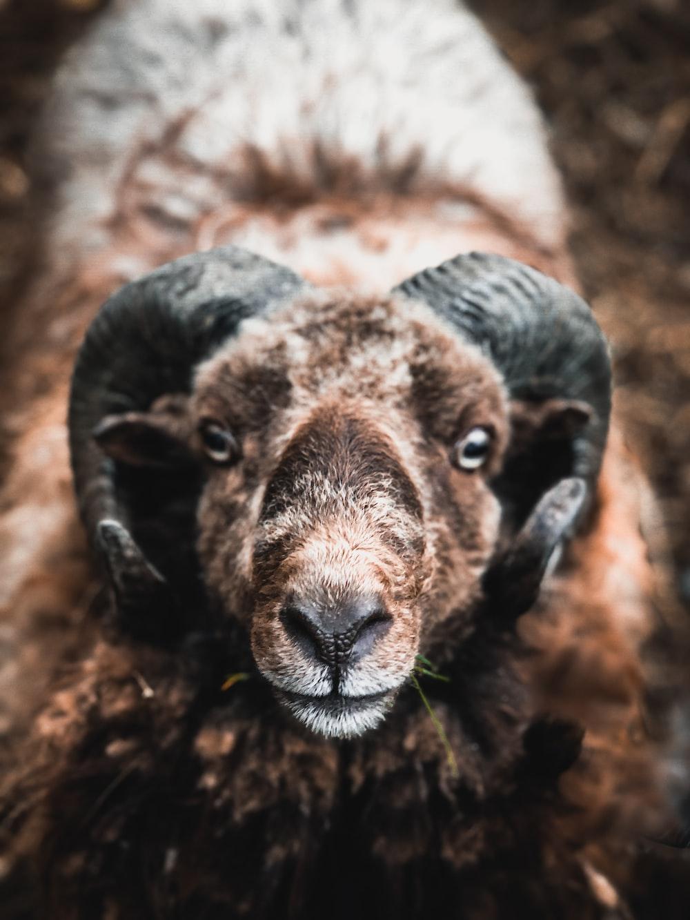 black and white ram animal