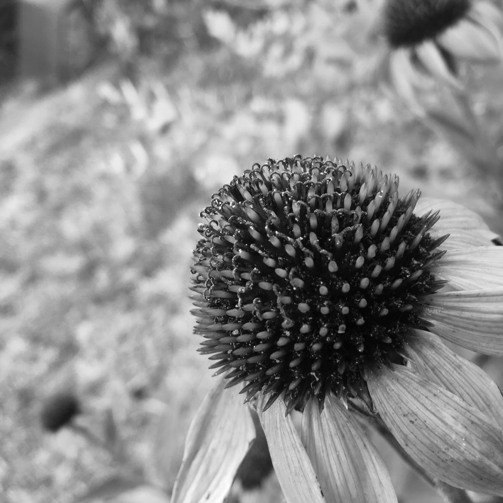 grayscale photo of sunflower in bloom
