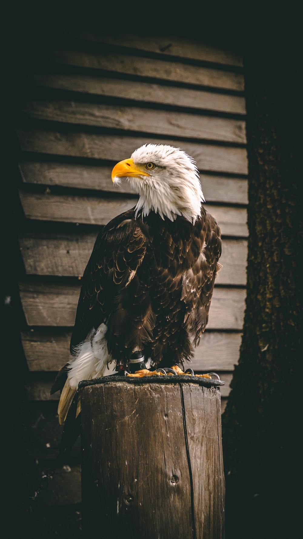 Eagle Wallpapers Free Hd Download 500 Hq Unsplash
