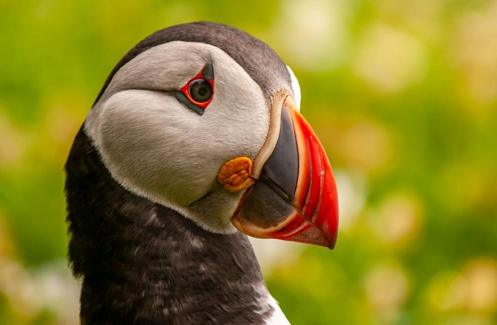 black and white bird with red beak
