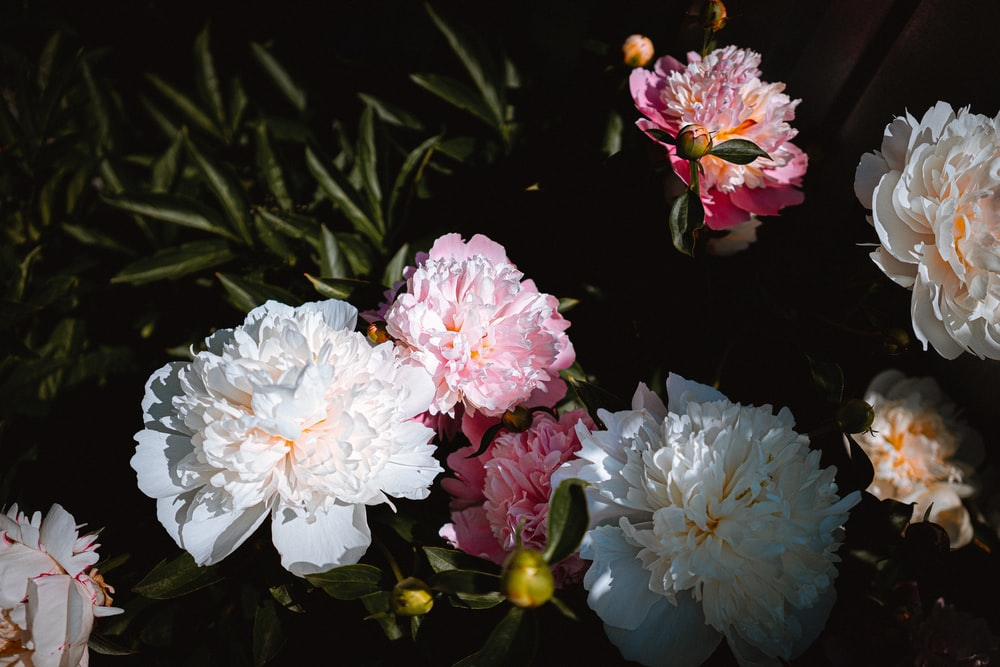 white and pink flowers with green leaves