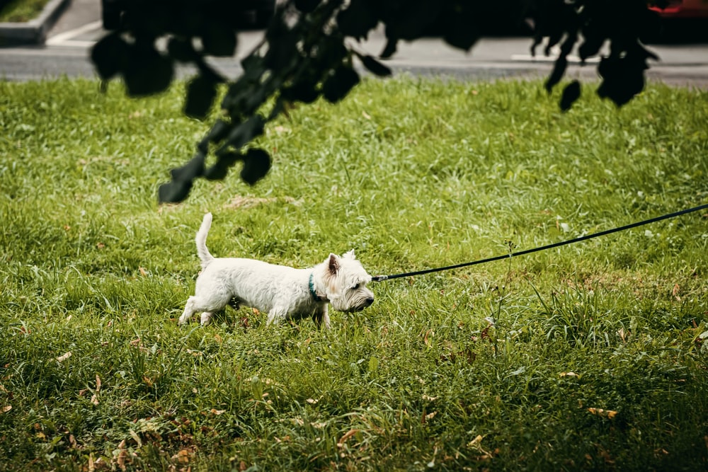 white long coat small dog with black leash on green grass field during daytime
