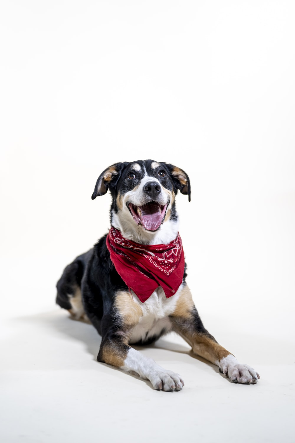 black white and brown short coated dog