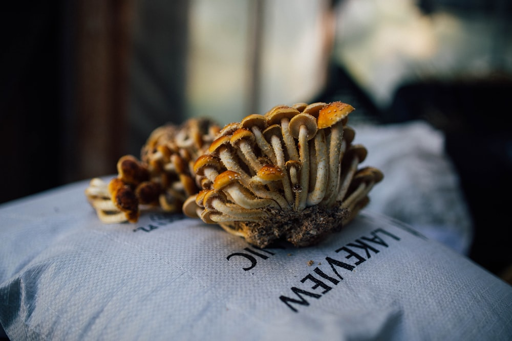 brown and white pine cone on white textile