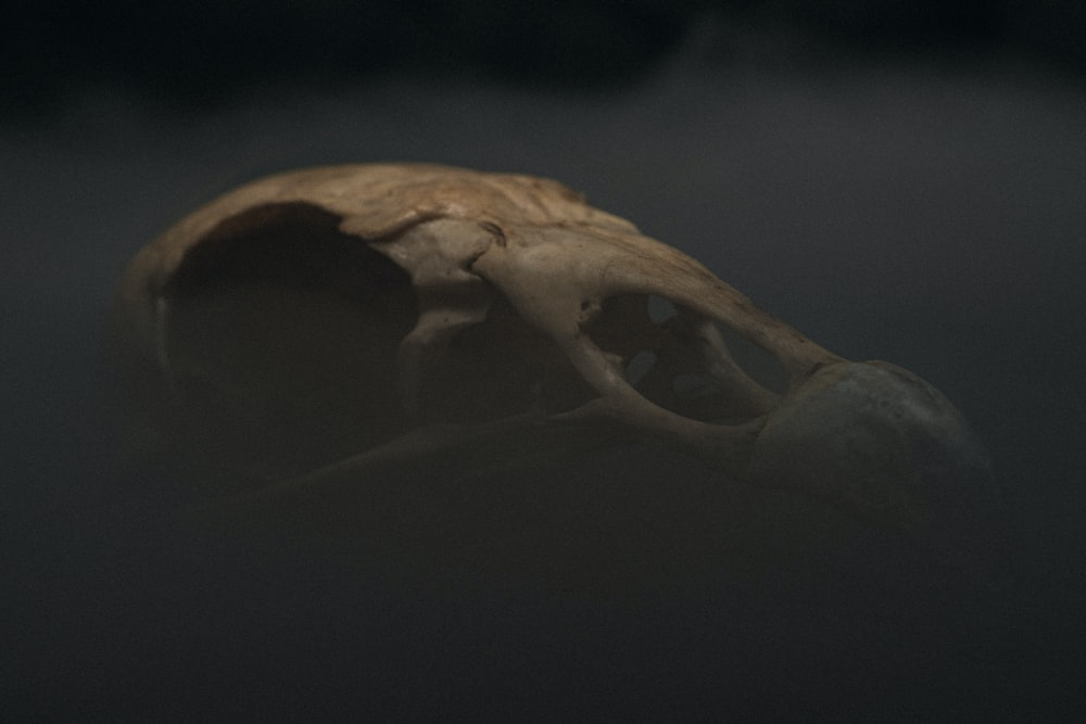 white animal skull on black background