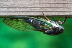 Trillions of Cicadas Are About to Emerge After 17 Years Underground for Month-Long Mating Ritual