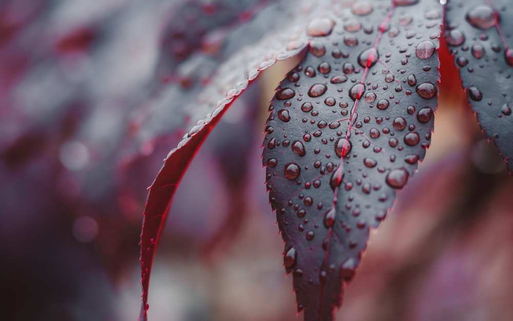 white and red leaf with water droplets
