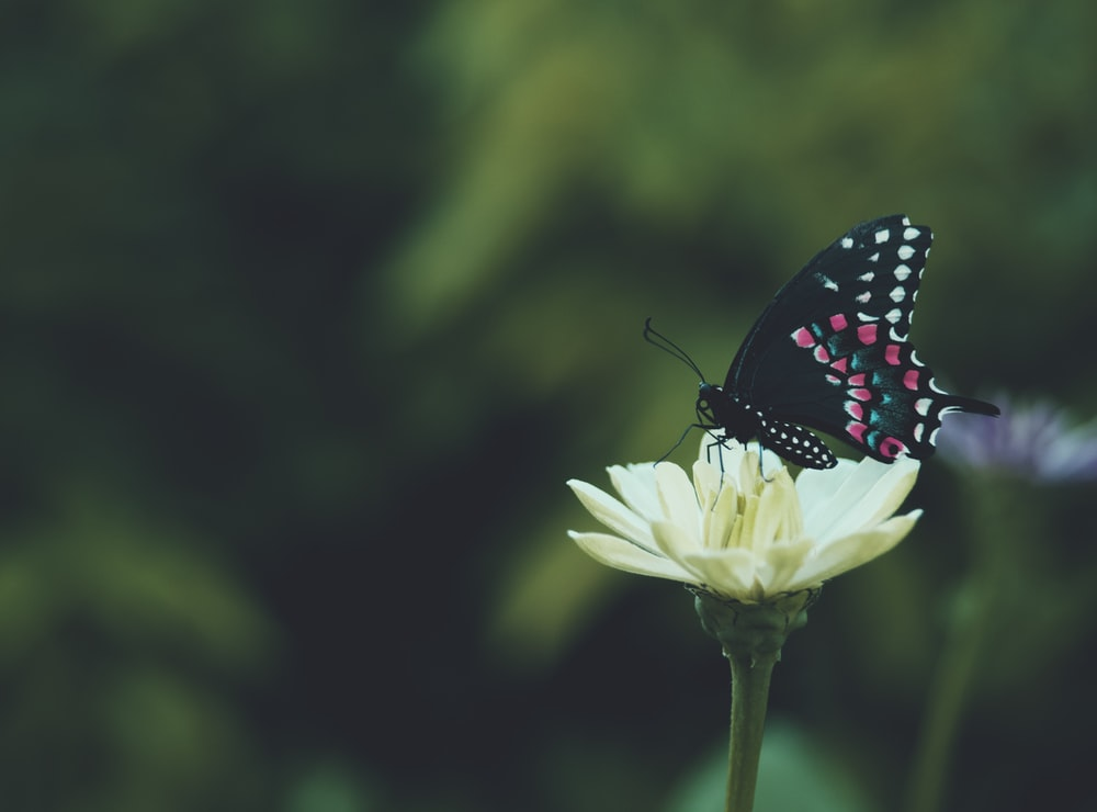 black and white butterfly perched on white flower
