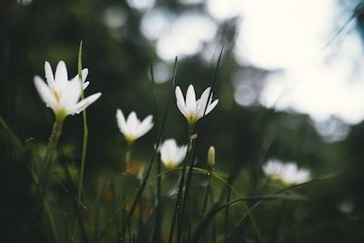 Imphāl white flowers in tilt shift lens