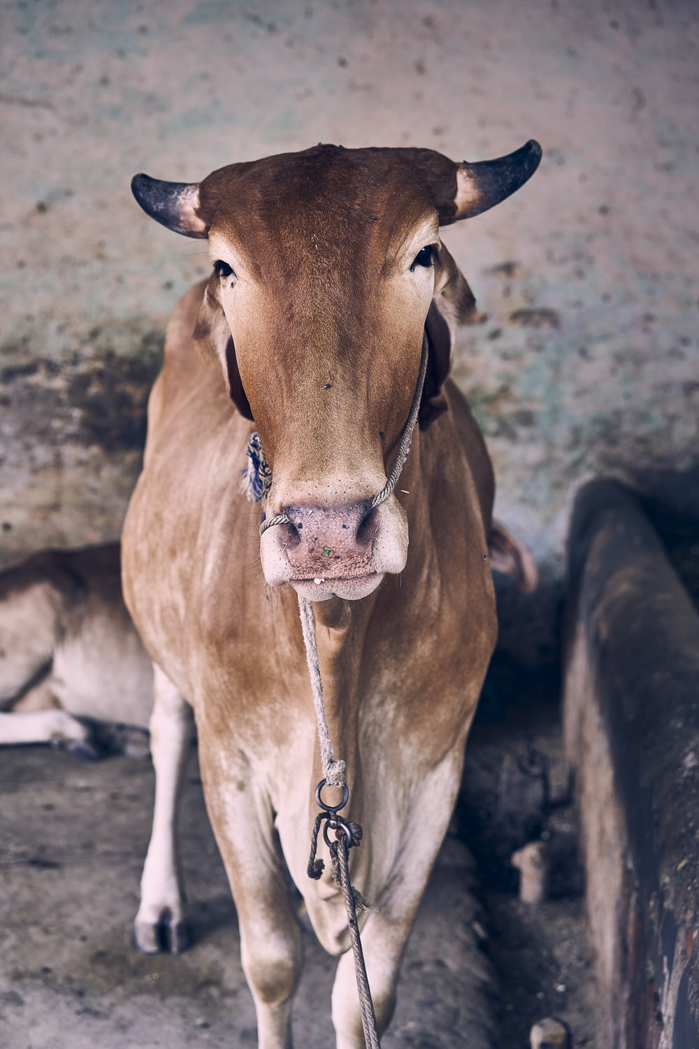 brown cow with silver chain necklace