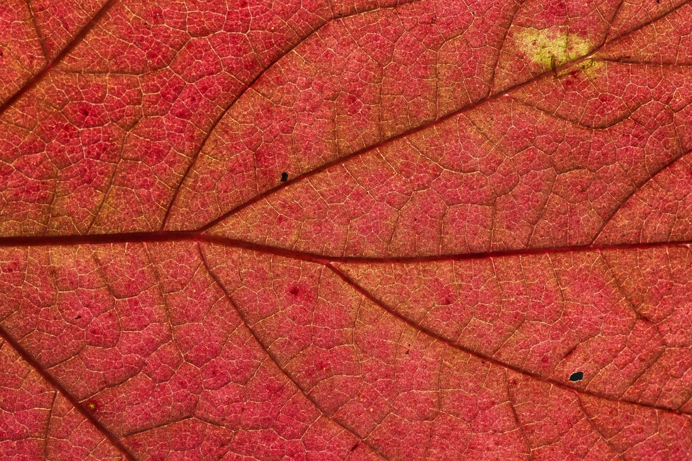 red and yellow leaf in close up photography