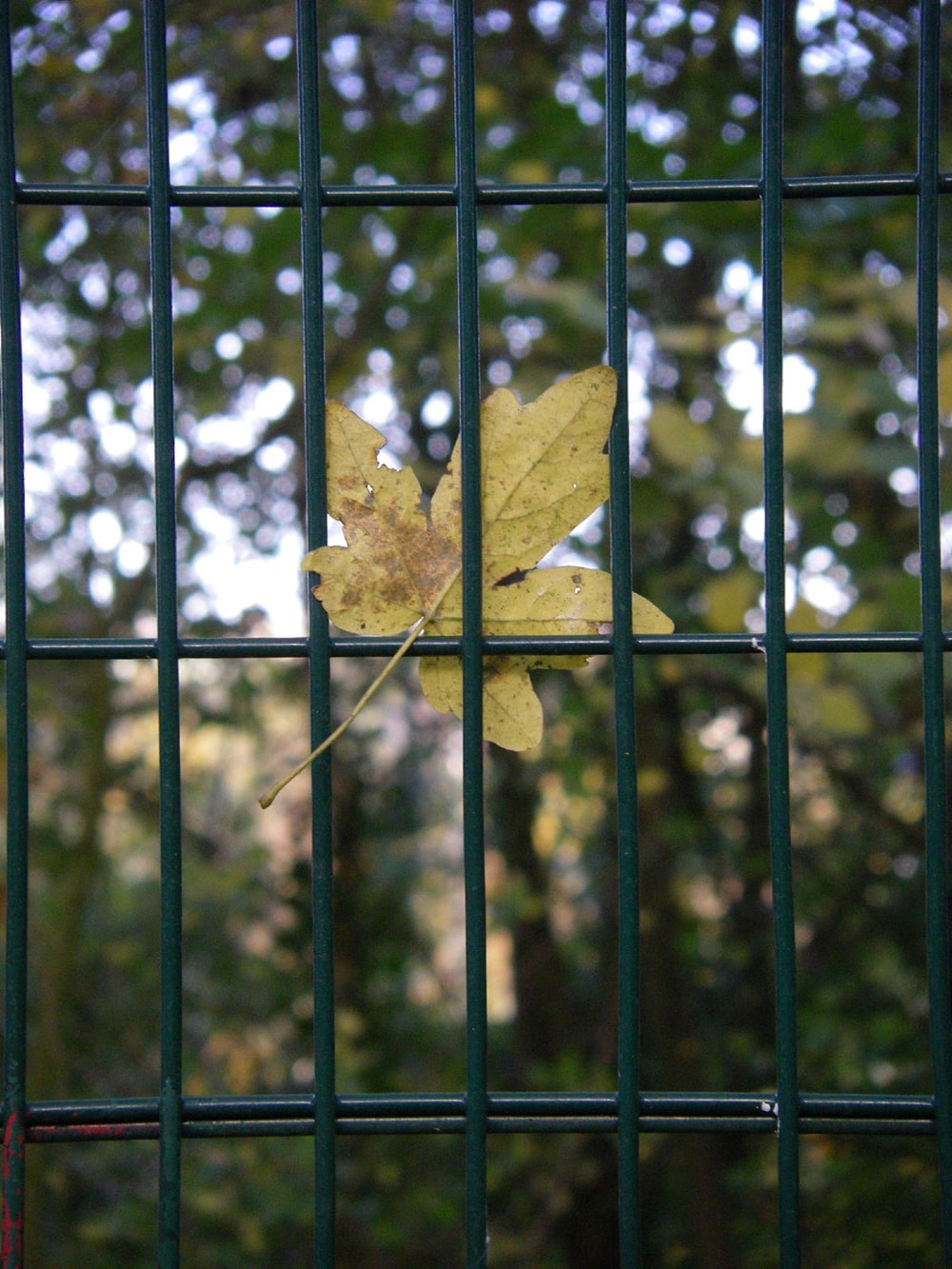 brown maple leaf on black metal fence