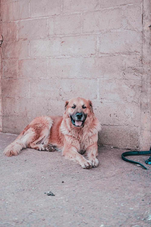 brown long coated dog lying on gray concrete floor