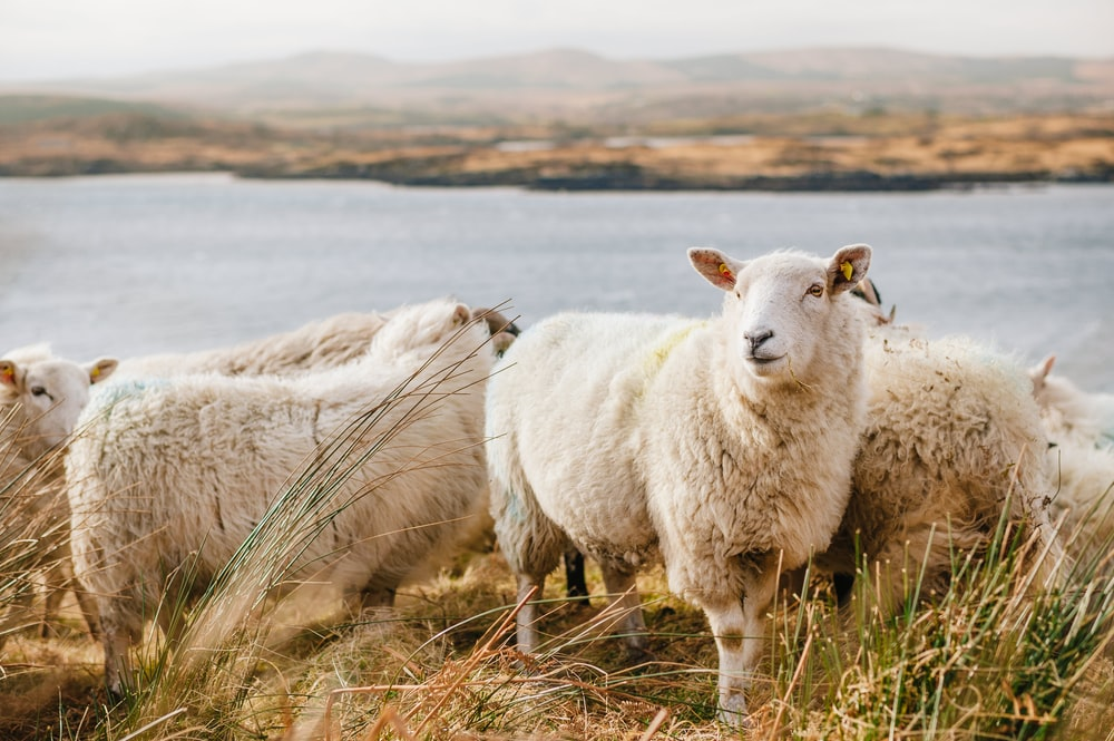 white sheep on brown grass field near body of water during daytime
