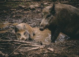 brown wild boar on brown dried leaves