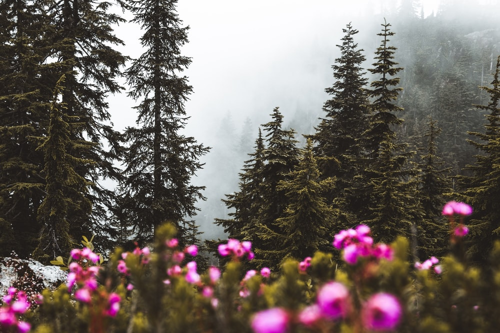 purple flower field near green pine trees during daytime