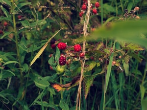red round fruits on green stem