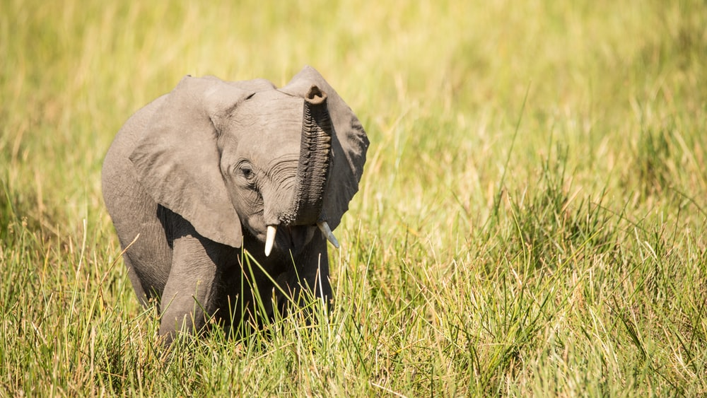 gray elephant on green grass field during daytime
