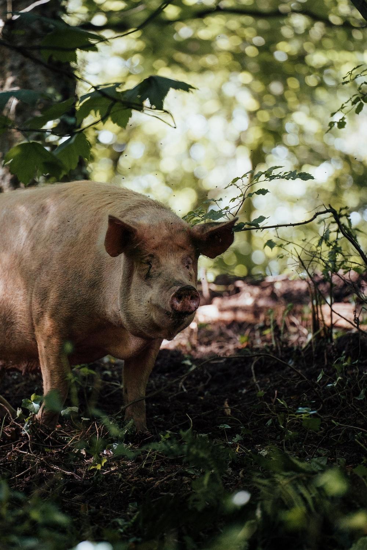 brown pig on brown dried leaves during daytime