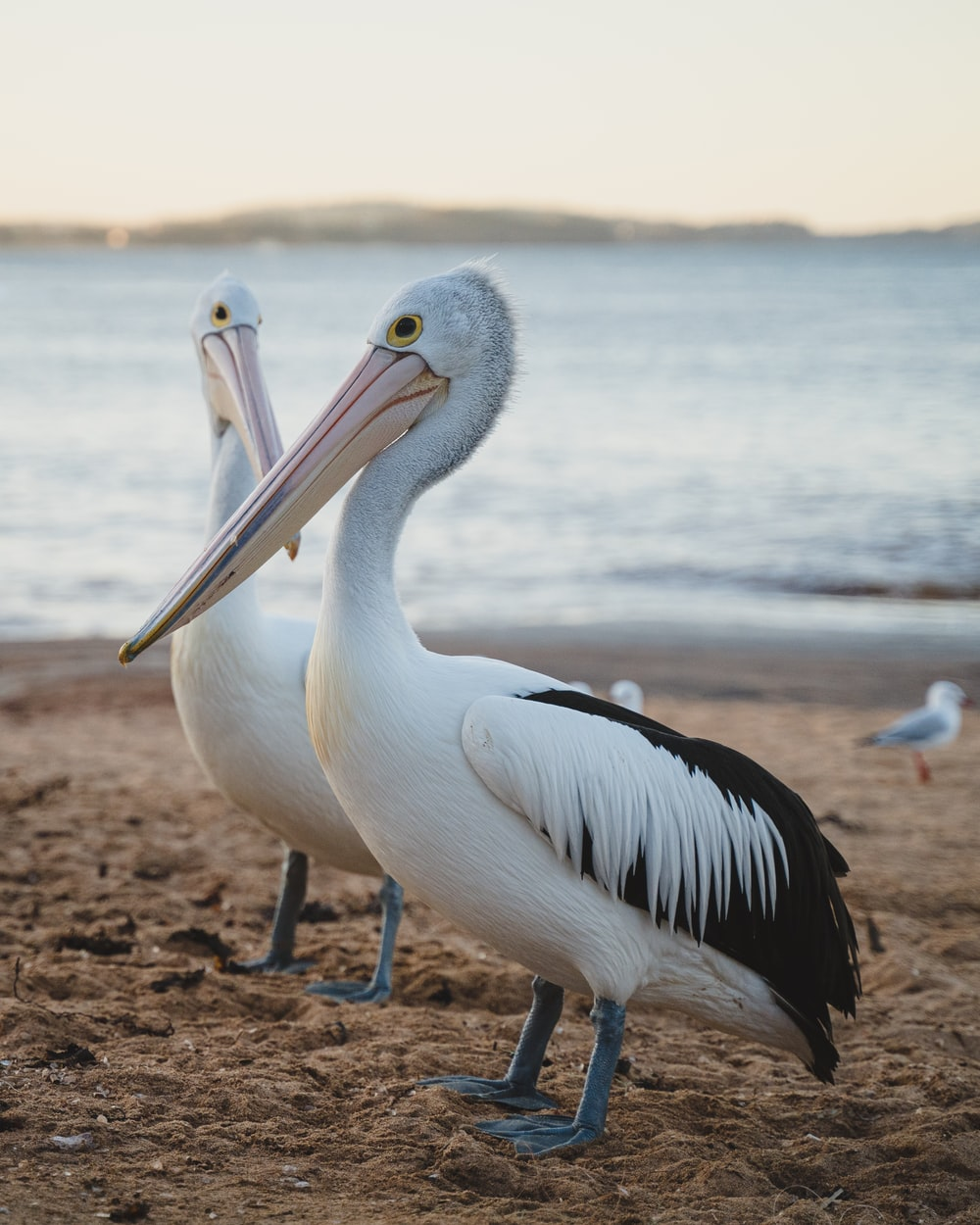 white pelican on brown sand near body of water during daytime
