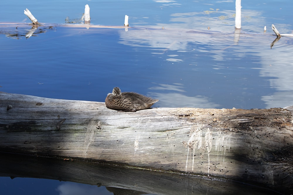 brown duck on brown wooden log near body of water during daytime